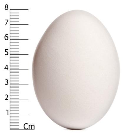 nieużytki: Cape Barren gęś jaj z pomiarami, novaehollandiae Cereopsis, z przodu biaÅ'e tÅ'o Zdjęcie Seryjne