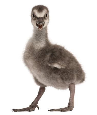 Hawaiian Goose photo
