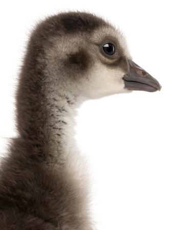 Close-up of Hawaiian Goose photo