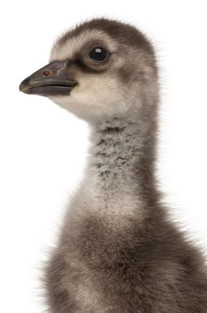 Close-up of Hawaiian Goose or Nēnē, Branta sandvicensis, a species of goose, 4 days old, in front of white background photo