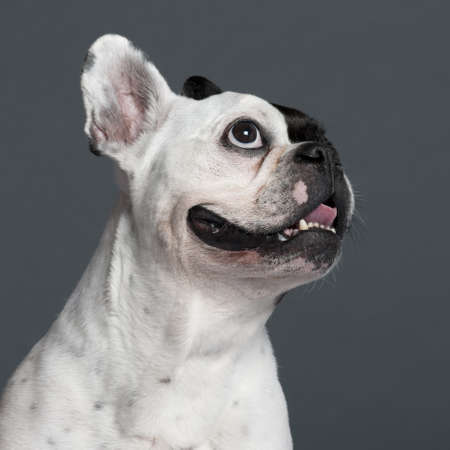 Close-up of French Bulldog, 9 years old, in front of grey background photo