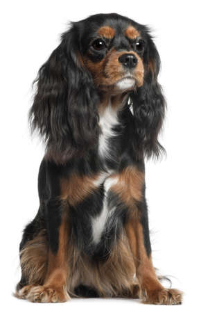 Cavalier King Charles Spaniel, 11 months old, sitting in front of white background photo