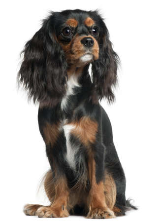 Cavalier King Charles Spaniel, 11 months old, sitting in front of white background Stock Photo - 9749225