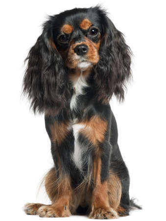 cavalier king charles spaniel: Cavalier King Charles Spaniel, 11 months old, sitting in front of white background