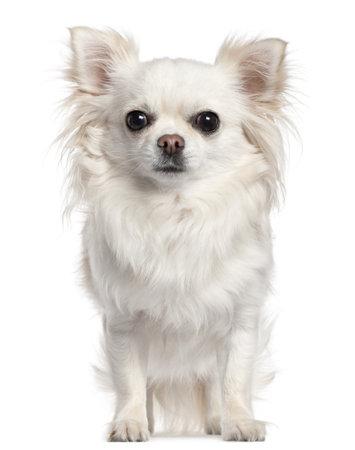 perro chihuahua: Chihuahua, 2 a�os de edad, sentado frente a fondo en blanco