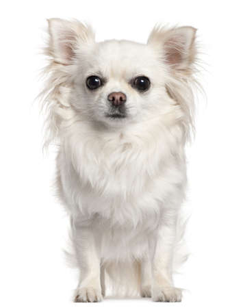 chihuahua dog: Chihuahua, 2 years old, sitting in front of white background