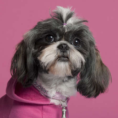 shih tzu: Close-up of Shih Tzu in pink, 2 years old, in front of pink background
