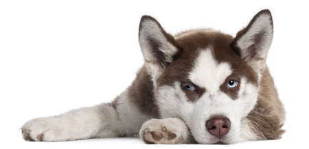 siberian husky: Siberian Husky puppy, 5 months old, lying in front of white background Stock Photo
