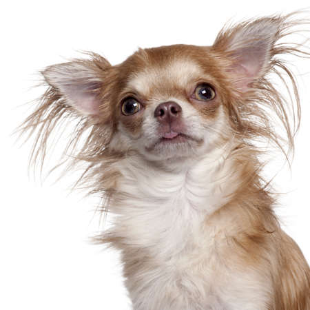Close-up of Chihuahua in front of white background Stock Photo - 9750339