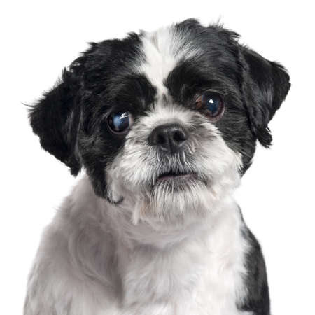 shih tzu: Close-up of Shih Tzu, 4 years old, in front of white background