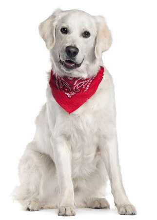 Golden Retriever wearing red handkerchief, 9 months old, sitting in front of white background photo