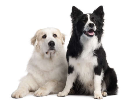 great pyrenees: Great Pyrenees, 6 years old, and Border Collie, 2 years old, in front of white background