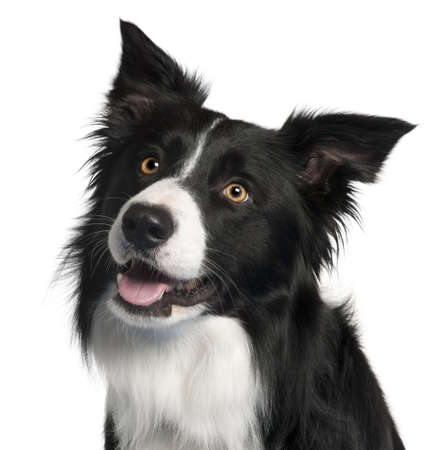 Close-up of Border Collie, 4 years old, in front of white background photo