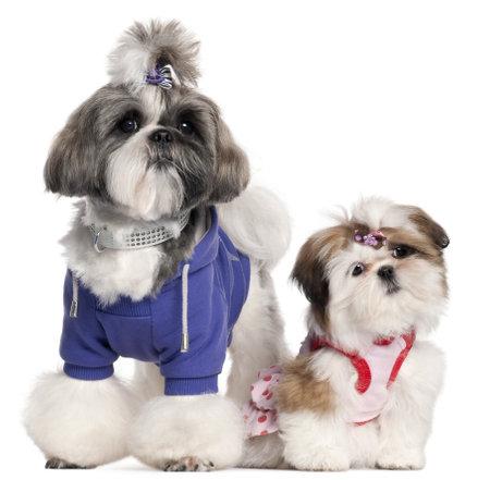 perros vestidos: Shih Tzu disfrazado, 2 a�os y 3 meses de edad, de fondo blanco