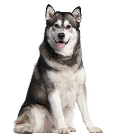 Alaskan Malamute, 2 years old, sitting in front of white background Stock Photo - 9750501