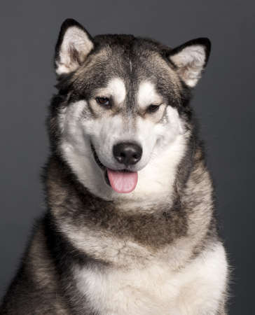 Close-up of Alaskan Malamute, 2 years old, in front of grey background Stock Photo - 9750286