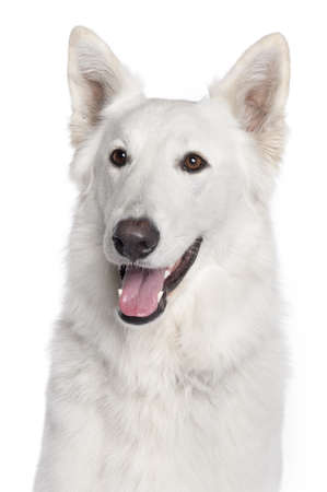 berger: Close-up of Berger Blanc Suisse, 2 years old, in front of white background Stock Photo