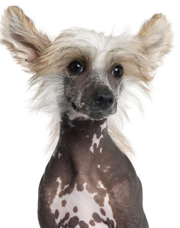 Close-up of Chinese Crested puppy, 4 months old, in front of white background photo
