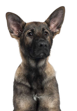 Close-up of German Shepherd puppy, 3 months old, in front of white background photo