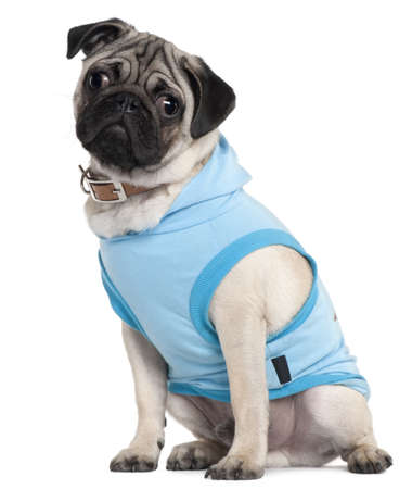 Pug puppy dressed in blue hoodie, 6 months old, sitting in front of white background photo