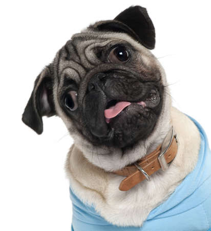 Close-up of Pug puppy wearing blue, 6 months old, in front of white background photo