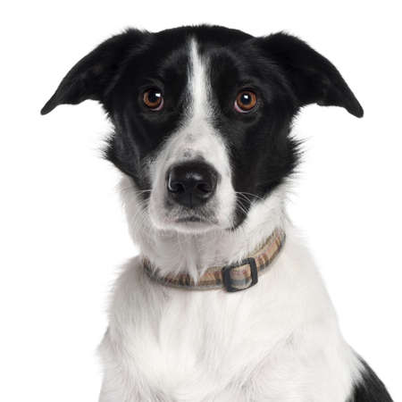 white collar: Close-up of Border Collie, 2 years old, in front of white background Stock Photo