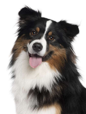 2 years old: Close-up of Australian Shepherd dog, 2 years old, in front of white background