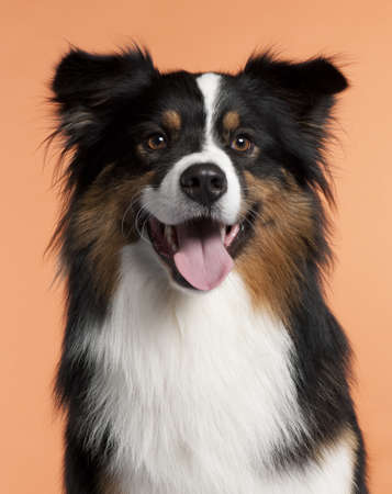 Close-up of Australian Shepherd, 2 years old, in front of orange background photo