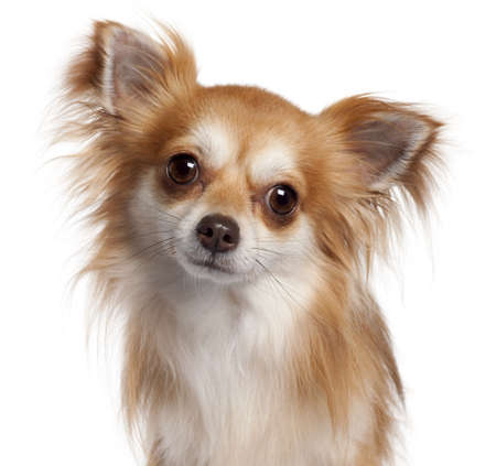 cane chihuahua: Close-up di Chihuahua, 2 anni, di fronte a sfondo bianco
