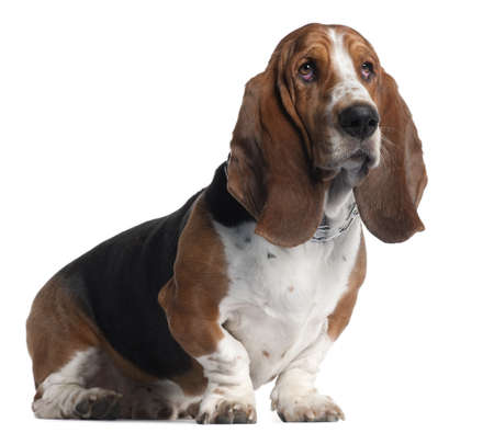 portrait view: Basset Hound, 3 years old, sitting in front of white background