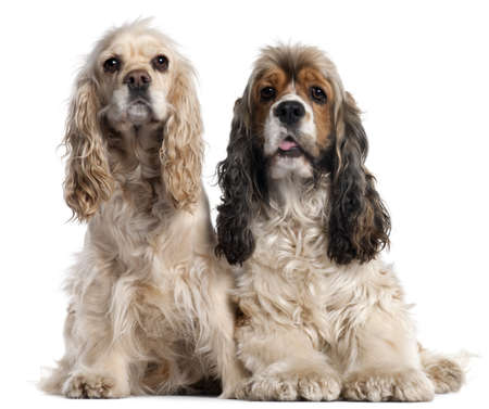 1 2 years: Two American Cocker Spaniels, 1 and 2 years old, in front of white background