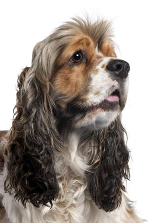Close-up of American Cocker Spaniel, 1 year old, in front of white background Stock Photo - 9748903