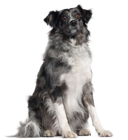 Border Collie, 2 years old, sitting in front of white background photo