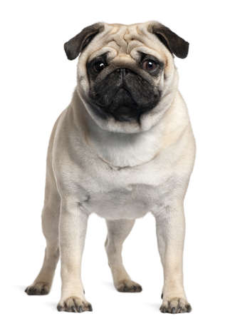 pug dog: Pug, 2 Years old, standing in front of white background