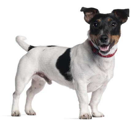 jack russell: Jack Russell Terrier, 1 year old, standing in front of white background
