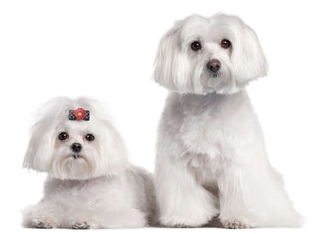 groomed: Maltese, 3 and 7 years old, in front of white background