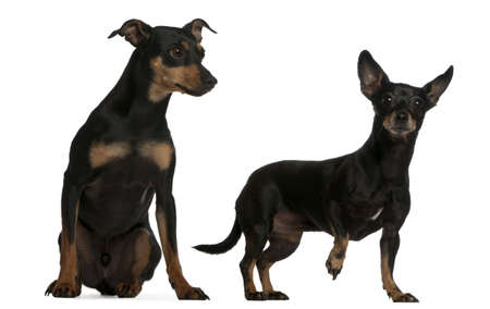 Miniature Pinscher, 7  years old, and German Pinscher, 4 years old, in front of white background photo