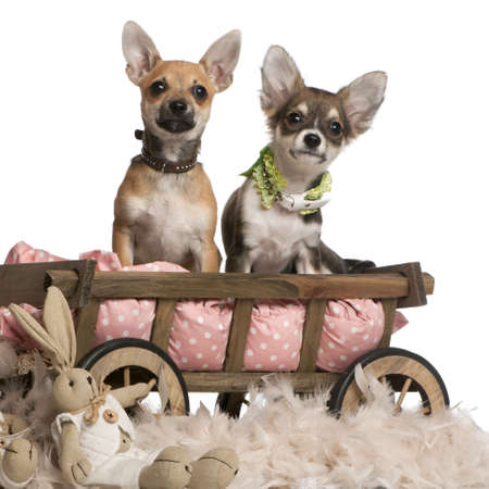 Chihuahua puppies, 3 months old, sitting in dog bed wagon with stuffed animals in front of white background photo