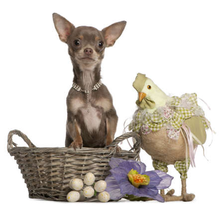 Chihuahua, 1 year old, sitting in Easter basket with stuffed chicken beside, in front of white background Stock Photo - 9750656