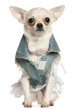 denim jacket: Chihuahua dressed in denim, 10 months old, sitting in front of white background Stock Photo