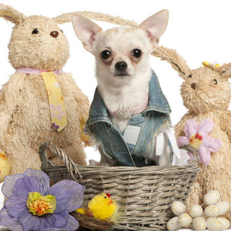 Chihuahua dressed in denim, 10 months old, sitting in Easter basket in front of white background Stock Photo - 9750611