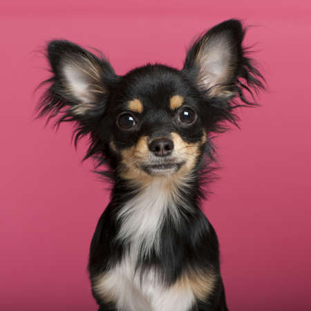 chihuahua puppy: Close-up of Chihuahua puppy, 6 months old, in front of pink background