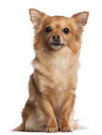 perro chihuahua: Chihuahua, 3 a?de edad, sentado delante de fondo blanco
