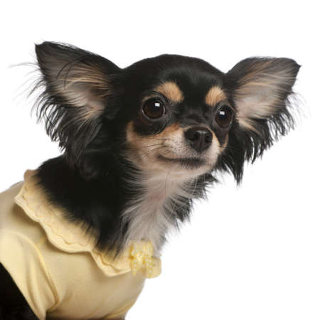 Close-up of Chihuahua, 3 years old, in front of white background photo
