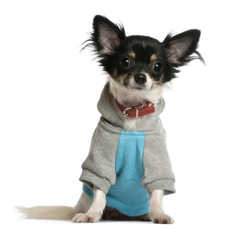 Chihuahua dressed in sweatshirt hoodie, 9 months old, sitting in front of white background photo