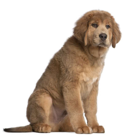 Tibetan Mastiff puppy, 3 months old, sitting in front of white background photo