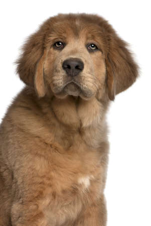 Close-up of Tibetan Mastiff puppy, 3 months old, in front of white background photo