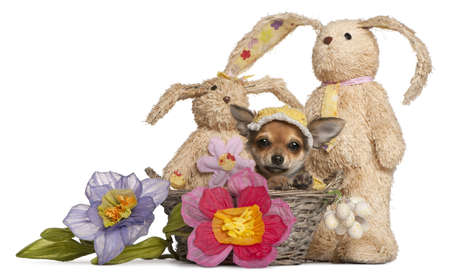 Chihuahua puppy in Easter basket with flowers and stuffed animals in front of white background photo