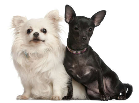 Chihuahuas, 8  years old and 7 months old, sitting in front of white background photo