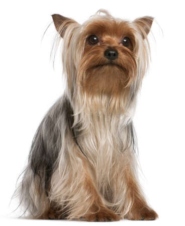 yorkie: Yorkshire Terrier, 1 year old, sitting in front of white background